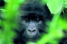 Gorilla tracking safari with Colobus Tours