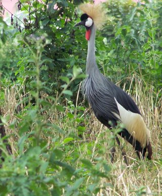 Colobus Tours Uganda safari crowned crane